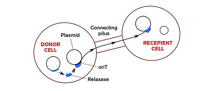 Depiction of conjugation; plasmid transfer between a donor cell and a recipient cell.