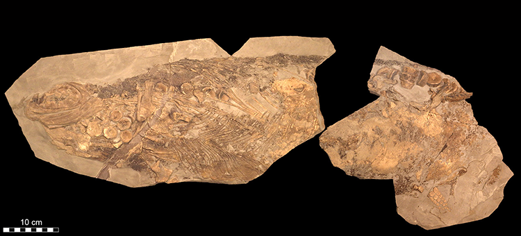 Image of Stenopterygius fossil.
